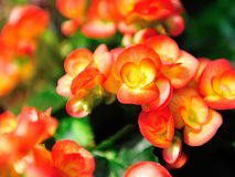 Colorful Japanese Camellia Royalty Free Stock Images