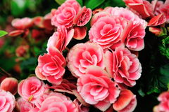 Colorful Japanese Camellia Royalty Free Stock Photography