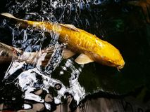 Free Colorful Japanese Carp Stock Images - 102740604