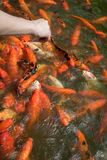 Colorful Japanese carp fish in a pond, Koi carps Royalty Free Stock Photography
