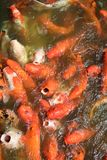 Colorful Japanese carp fish in a pond, Koi carps Stock Photography