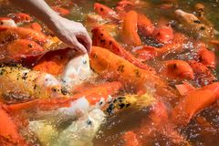 Colorful Japanese carp fish in a pond, Koi carps Stock Photos