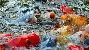 Colorful Japanese Koi fish swimming in pond and competing for food wide image. Colorful Japanese carp Koi fish swimming in pond and competing for food wide image royalty free stock photo