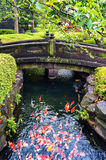 Colorful Japanese Koi carp fish in a pond. Pond, river full of japanese koi fish, carp with stone bridge and green shrubs on the background. Motion blur Stock Photos