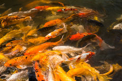Colorful Japanese Koi fish carp. During a feeding frenzy Stock Photography
