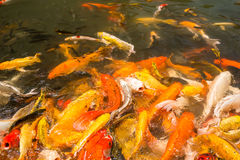 Colorful Japanese Koi fish carp. During a feeding frenzy Royalty Free Stock Images