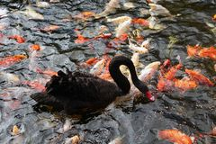 Colorful Japanese koi fishes and black swan. Eating Stock Photos