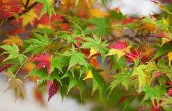 Colorful Japanese maple leaves Royalty Free Stock Photography