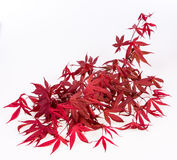 Colorful Japanese Maple. Colorful Red Japanese Maple branch Royalty Free Stock Photos