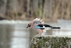Jay bird on stone near river, Lithuania Royalty Free Stock Photography