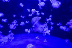 Colorful jellyfish from the depths of the ocean. Although the jellies are beautiful they are very dangerous. Ocean creature from the dark abyss Stock Images