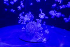 Colorful jellyfish from the depths of the ocean. Although the jellies are beautiful they are very dangerous. Ocean creature from the dark abyss royalty free stock image