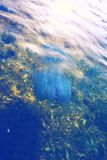 Colorful jellyfish swims in a transparent blue sea Royalty Free Stock Photo