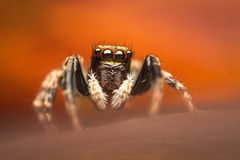 Colorful jumping spider Royalty Free Stock Photos