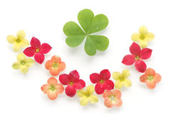 Colorful kalanchoe flower and clover background Stock Image