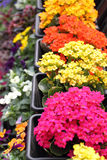 Colorful Kalanchoe planters in a garden Stock Photo