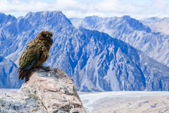 Colorful Kea watching over Mount Olivier Royalty Free Stock Photos