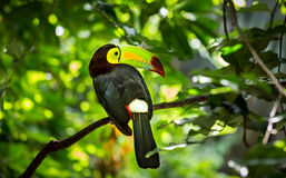 Colorful keel-billed toucan bird Stock Photo