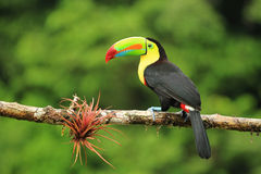 Colorful keel-billed toucan bird. Close up of colorful keel-billed toucan bird stock image