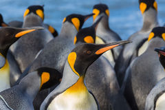 Colorful king penguin closeup Royalty Free Stock Photography