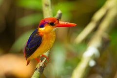 Colorful Kingfisher bird, Stock Images