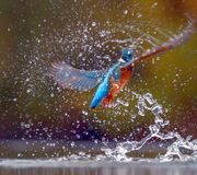 The colorful Kingfisher surfacing after hunting for fish royalty free stock images