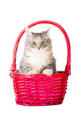 Colorful kitten sitting in pink basket Stock Image
