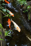 Colorful Koi Royalty Free Stock Images
