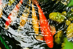 Colorful Koi Royalty Free Stock Image