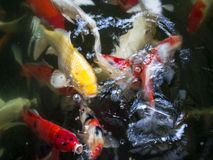 Colorful koi or carp chinese fish under water Stock Image
