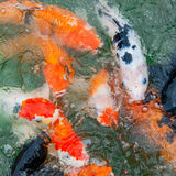Colorful Koi carp Royalty Free Stock Photos