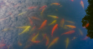 Colorful koi carp fish group swimming in pond. Koi fish in pond,colorful natural background Royalty Free Stock Photo