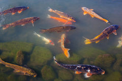 Colorful Koi or carp japanese fish Royalty Free Stock Image