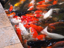 Colorful koi or carp. Are scramble for food in feeding Royalty Free Stock Images