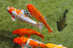 Colorful Koi Carps Stock Image