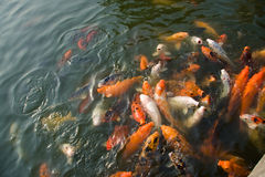 Colorful koi carps Royalty Free Stock Photos