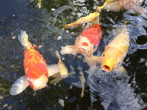 Colorful koi carps. Colored carp in the pond Royalty Free Stock Photo