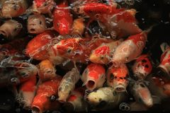 Colorful Koi Carps. Koi Carps in various colors and sizes in a fish pond Stock Photography