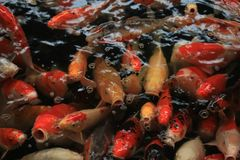 Colorful Koi Carps. Koi Carps in various colors and sizes in a fish pond Stock Images