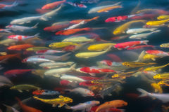 Colorful of Koi craft fish swimming in a lake,abstract blur back. Beautiful Koi craft fish swimming in a lake,abstract blur background Stock Image