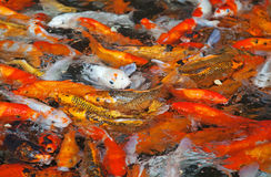Colorful Koi fish Royalty Free Stock Photos
