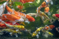 Many koi fish swim in the pond.shallow focus effect. Colorful koi fish in a beautiful pool,Details of the fish in the pond,fancy carp pink and white with orange stock photography