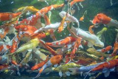 Many koi fish swim in the pond.shallow focus effect. Colorful koi fish in a beautiful pool,Details of the fish in the pond,fancy carp pink and white with orange royalty free stock images
