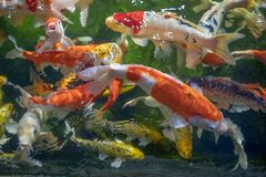 Many koi fish swim in the pond.shallow focus effect. Colorful koi fish in a beautiful pool,Details of the fish in the pond,fancy carp pink and white with orange royalty free stock photography