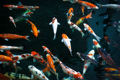 Colorful koi fish Royalty Free Stock Images