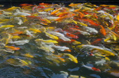Colorful Koi fish in the pond Stock Image