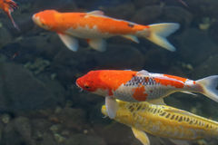 Colorful koi fish in the pond Royalty Free Stock Photo