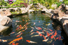 Colorful koi fish. Koi fish in pond at the garden with a waterfall royalty free stock photos