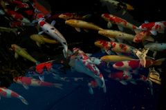 Colorful koi fish in pool. Colorful koi fish Detail of colorful japanese carp fish swimming in pond stock photography