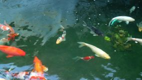 Colorful Koi fish swim stock video footage